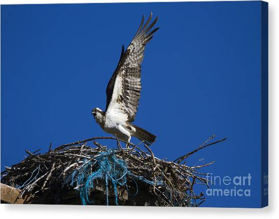 Osprey Canvas Print - Take-off by Mike  Dawson