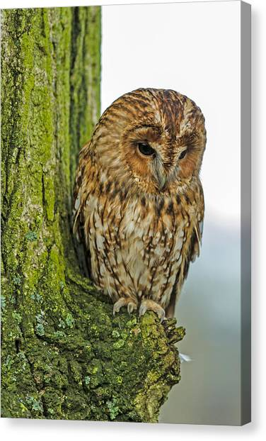 Tawny Owl Canvas Print by George Cox