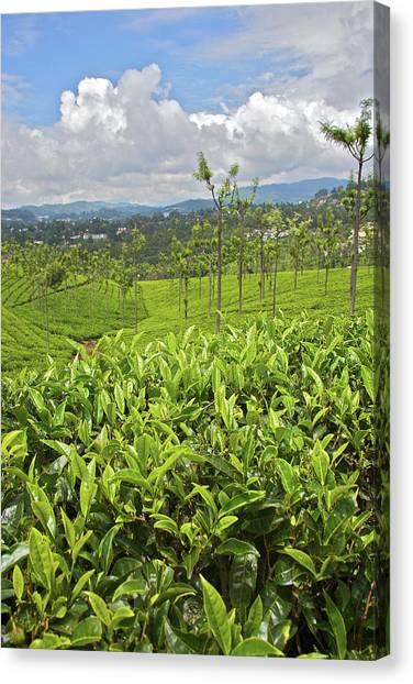 Camellias Canvas Print - Tea Plants (camellia Sinensis by Connie Bransilver