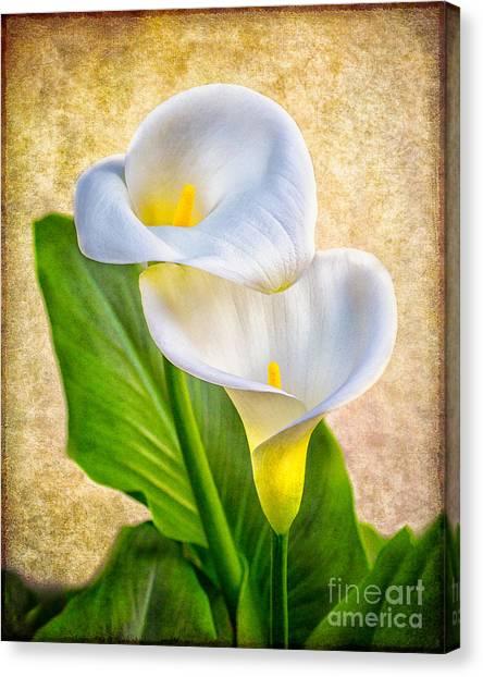 Textured Calla Lilies Canvas Print