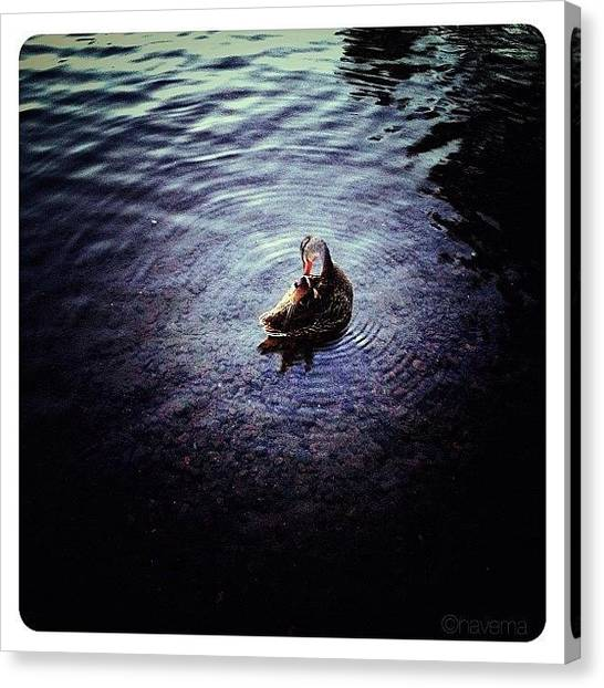 Water Birds Canvas Print - The Little Duck On The Northern Lake by Natasha Marco