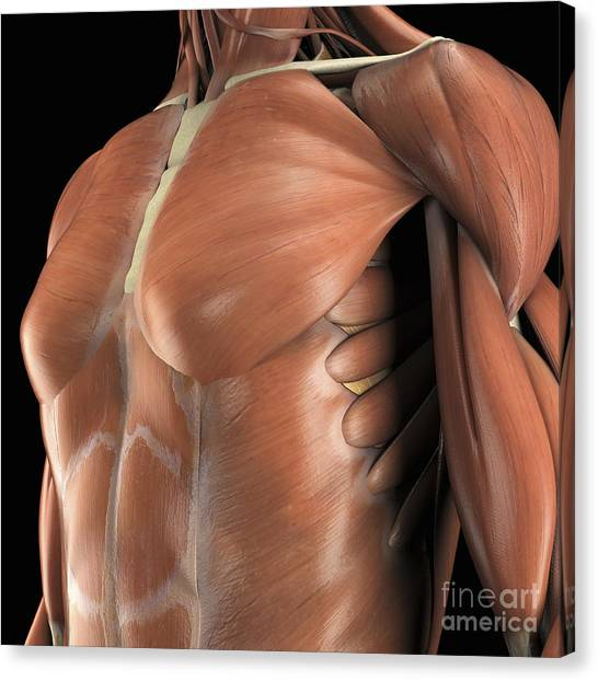 Pectoral Muscles Canvas Prints Page 3 Of 4 Fine Art America