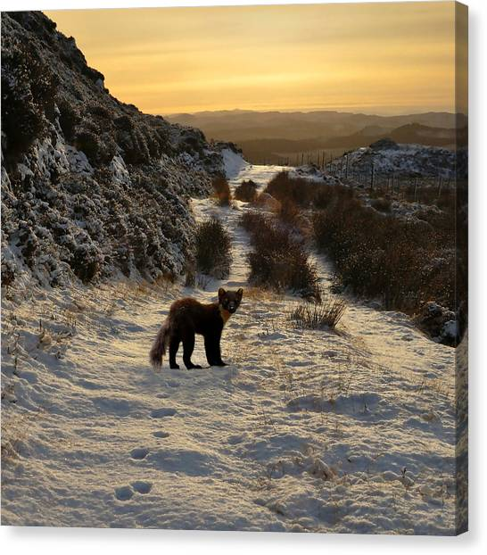 The Pine Marten's Path Canvas Print