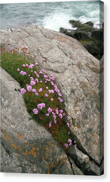 Thrift (armeria Maritima Miller) Canvas Print by Chris Dawe/science Photo Library