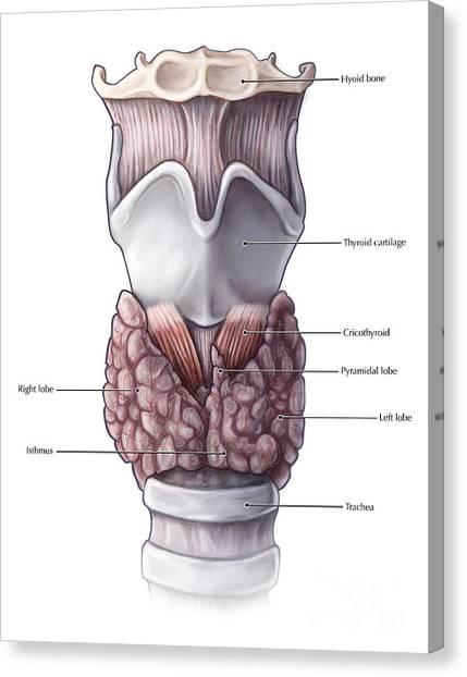 Thyroid Cartilage Canvas Prints | Fine Art America