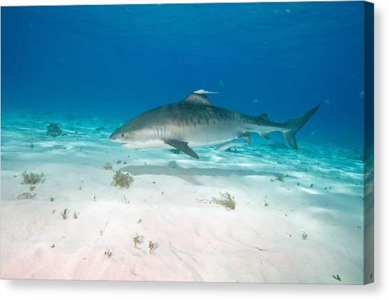 Tiger Sharks Canvas Print - Tiger Shark by Andrew J. Martinez