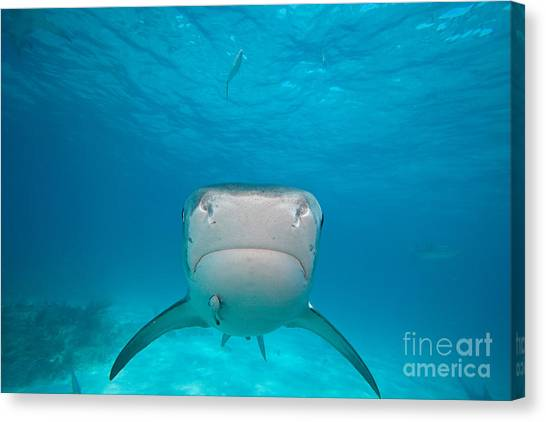 Tiger Sharks Canvas Print - Tiger Shark, Bahamas by David Fleetham