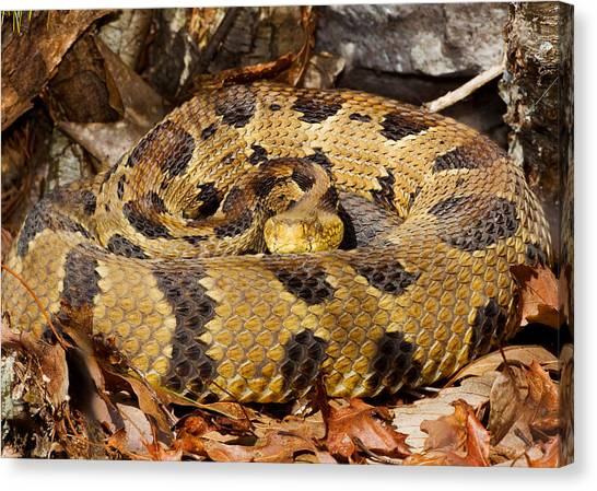 Timber Rattlesnakes Canvas Print - Timber Rattlesnake by Jim Zipp