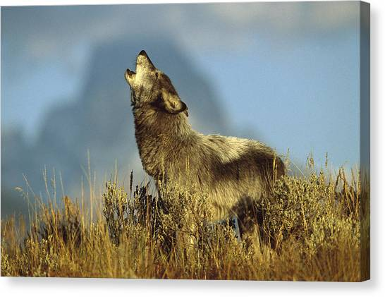 Howling Wolves Canvas Print - Timber Wolf Howling Idaho by Tom Vezo