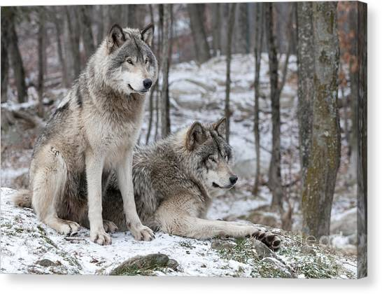 Timber Wolf Pair In Forest Canvas Print