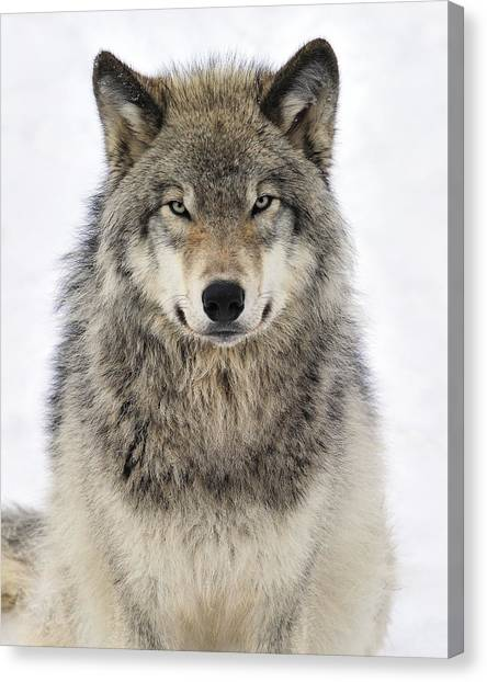 Conservation Canvas Print - Timber Wolf Portrait by Tony Beck