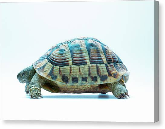 Tortoise Canvas Print by Gustoimages/science Photo Library
