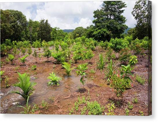 Daintree Rainforest Canvas Print - Tree Planting In The Daintree Rainforest by Ashley Cooper
