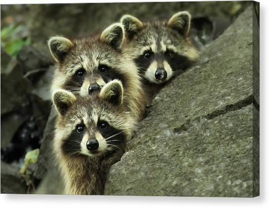 Raccoons Canvas Print - Tres Banditos by Mircea Costina