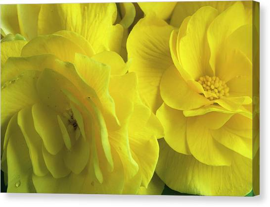 Andy Bloom Canvas Print - Tuberous Begonia Flowers by Andy Williams/science Photo Library