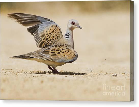 Negev Desert Canvas Print - Turtle Dove Streptopelia Turtur by Eyal Bartov