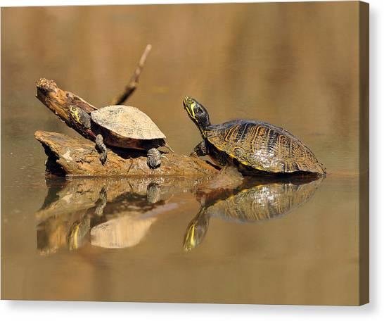 Waterdog Canvas Print - Turtles by Eric Abernethy