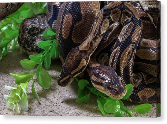 Burmese Pythons Canvas Print - Two Burmese Pythons Python Bivittatus by Panoramic Images