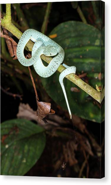 Poisonous Snakes Canvas Print - Two-striped Forest Pitviper by Dr Morley Read