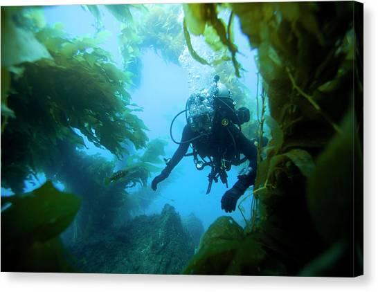 Kelp Forest Canvas Print - Underwater View Of Scuba Diver by Corey Rich