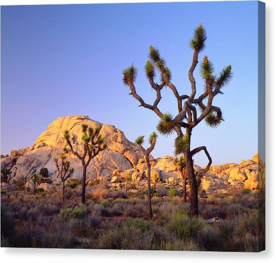 Usa, California, Joshua Tree National Canvas Print by Jaynes Gallery