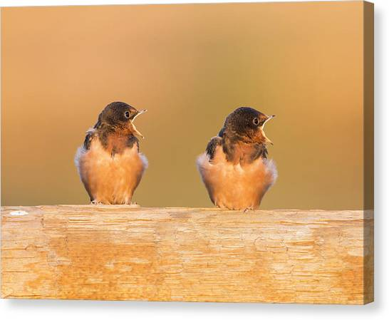 Swallows Canvas Print - Usa, Red Rock Lakes National Wildlife by Elizabeth Boehm