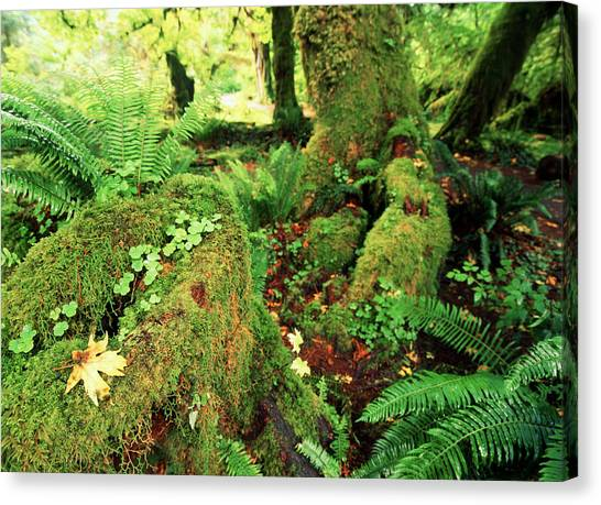 Tropical Rainforests Canvas Print - Usa, Washington State, Olympic by Michele Westmorland