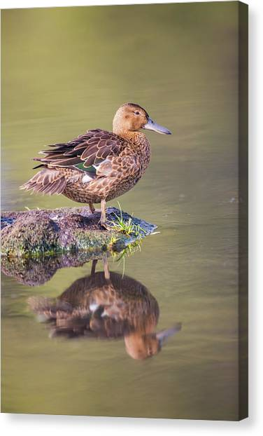 Usa, Wyoming, Cinnamon Teal Rests Canvas Print by Elizabeth Boehm