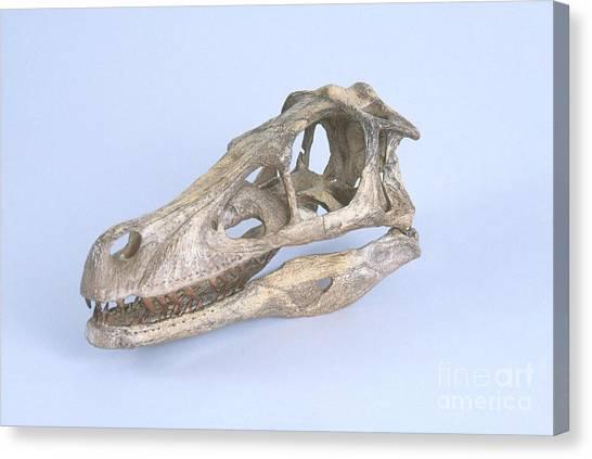 Velociraptor Canvas Print - Velociraptor Skull by Barbara Strnadova