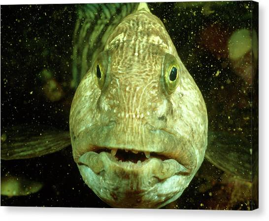 Catfish Canvas Print - View Of A Wolf Fish by Rudiger Lehnen/science Photo Library