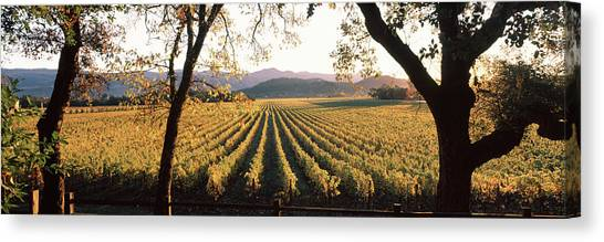 Vineyard In Napa Canvas Print - Vines In A Vineyard, Far Niente Winery by Panoramic Images