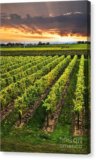 Field Canvas Print - Vineyard At Sunset by Elena Elisseeva