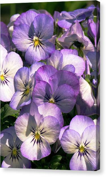 Viola Cornuta Penny Purple Picotee Canvas Print by Adrian Thomas