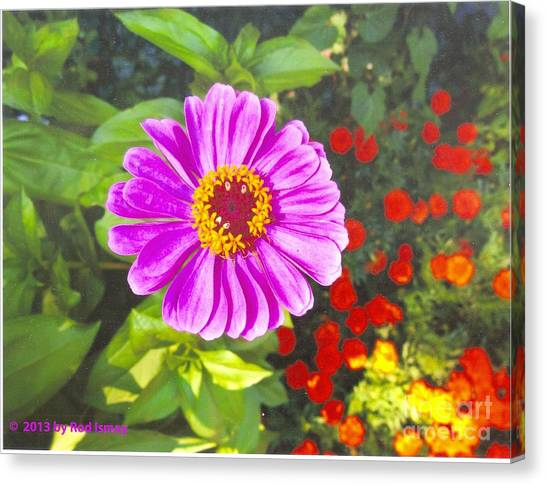 Warm Pink Zinnia Canvas Print
