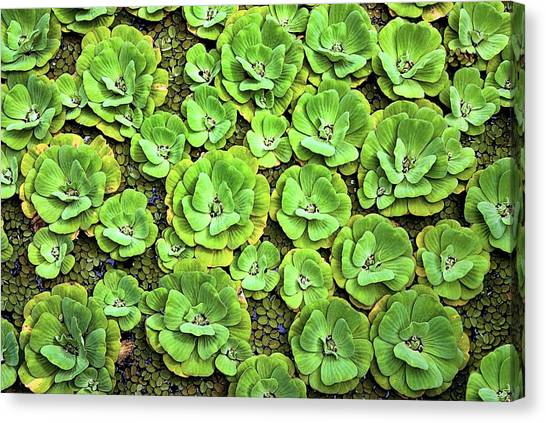 Lettuce Canvas Print - Water Lettuce by John Greim/science Photo Library