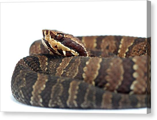 Cottonmouths Canvas Print - Water Moccasin Agkistrodon Piscivorus by Aaron Ansarov