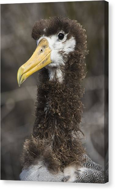 Albatross Canvas Print - Waved Albatross Molting Juvenile by Pete Oxford