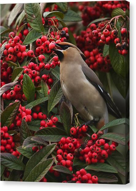 Waxwing Canvas Print