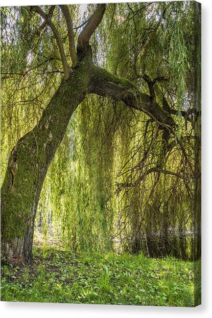 Weeping Willow Canvas Print by Thomas Schreiter