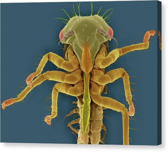 Pest Canvas Print - White Apple Leafhopper Nymph by Dennis Kunkel Microscopy/science Photo Library