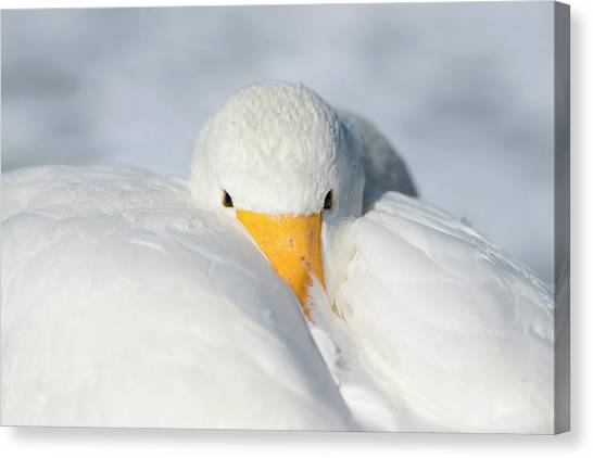 Behaviour Canvas Print - Whooper Swan Resting by Dr P. Marazzi