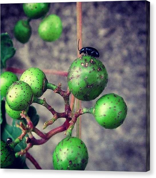 Wild Berries Canvas Print - #wildgrapes #wild #grapes #flower by Yukiko Nobeno
