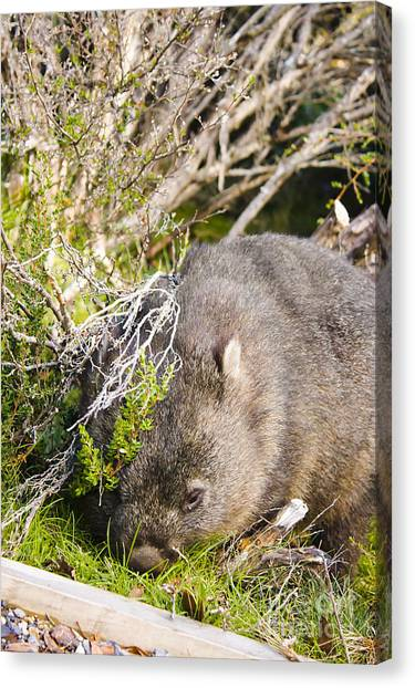 St Clair Canvas Print - Wildlife Wombat At Lake St Clair National Park  by Jorgo Photography - Wall Art Gallery