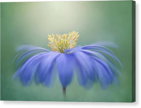 Winter Windflower Canvas Print by Jacky Parker