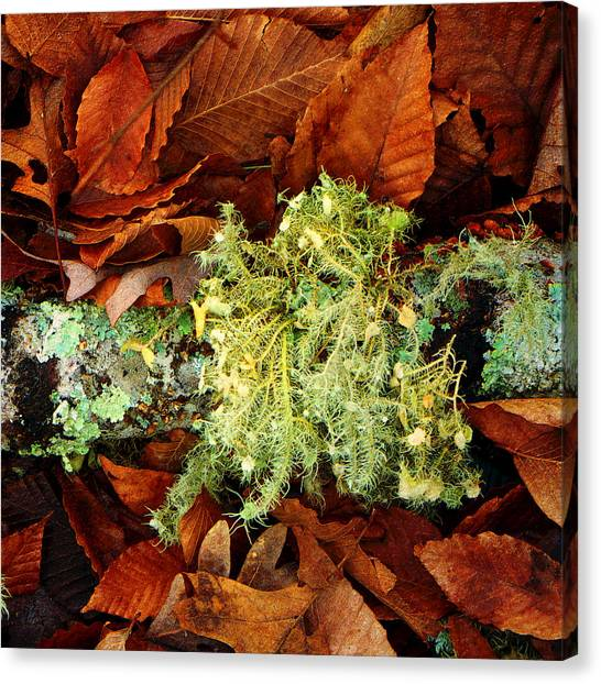 Wolf Moss Lichen Canvas Print by Frank Winters