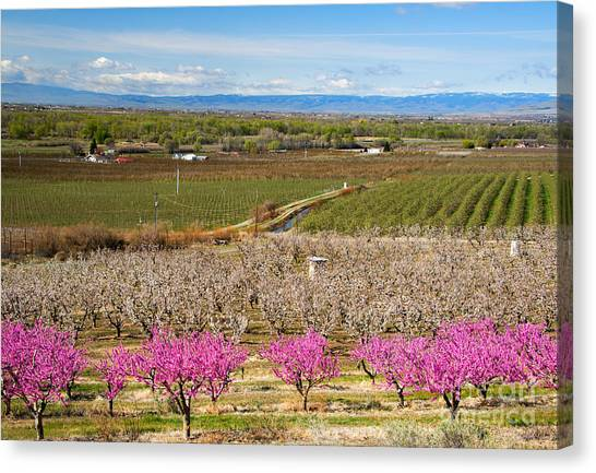 Orchard Canvas Print - Yakima Valley Spring by Mike  Dawson