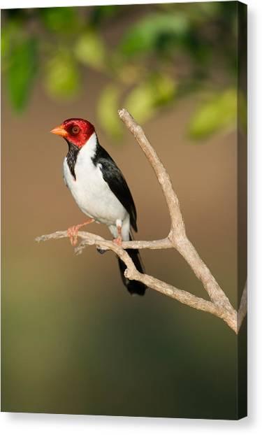 The Pantanal Canvas Print - Yellow-billed Cardinal Paroaria by Panoramic Images
