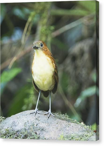 Yellow-breasted Antpitta Canvas Print