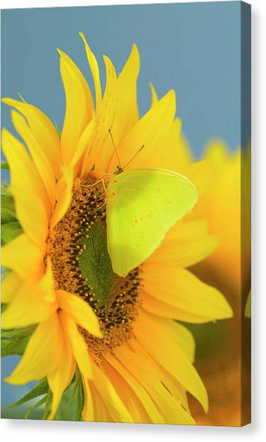 Sulfur Butterfly Canvas Print - Yellow Sulfur Butterfly by Darrell Gulin