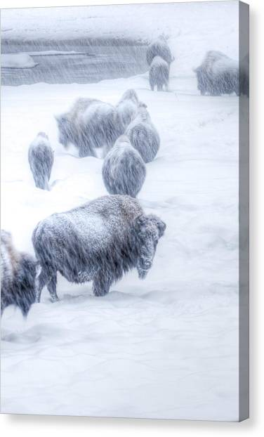 Yellowstone Bison Canvas Print by David Yack